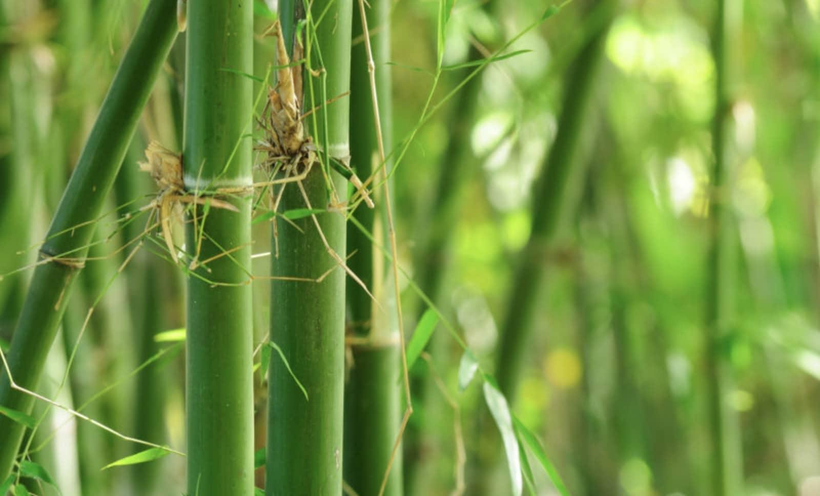 Bamboo is environmentally friendly