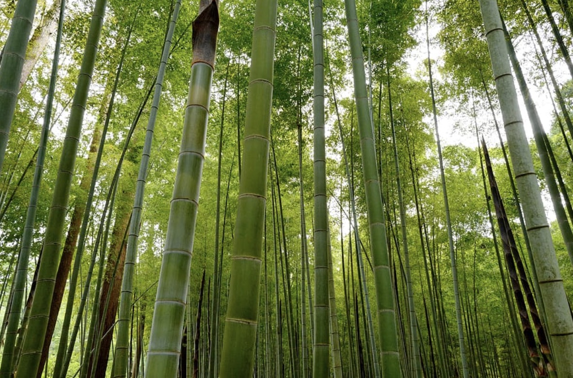 Bamboo is the fastest-growing plant.
