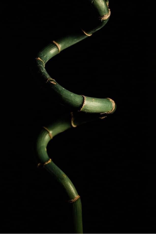 The lucky bamboo.
