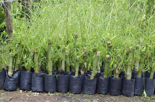 Propagating Bamboo