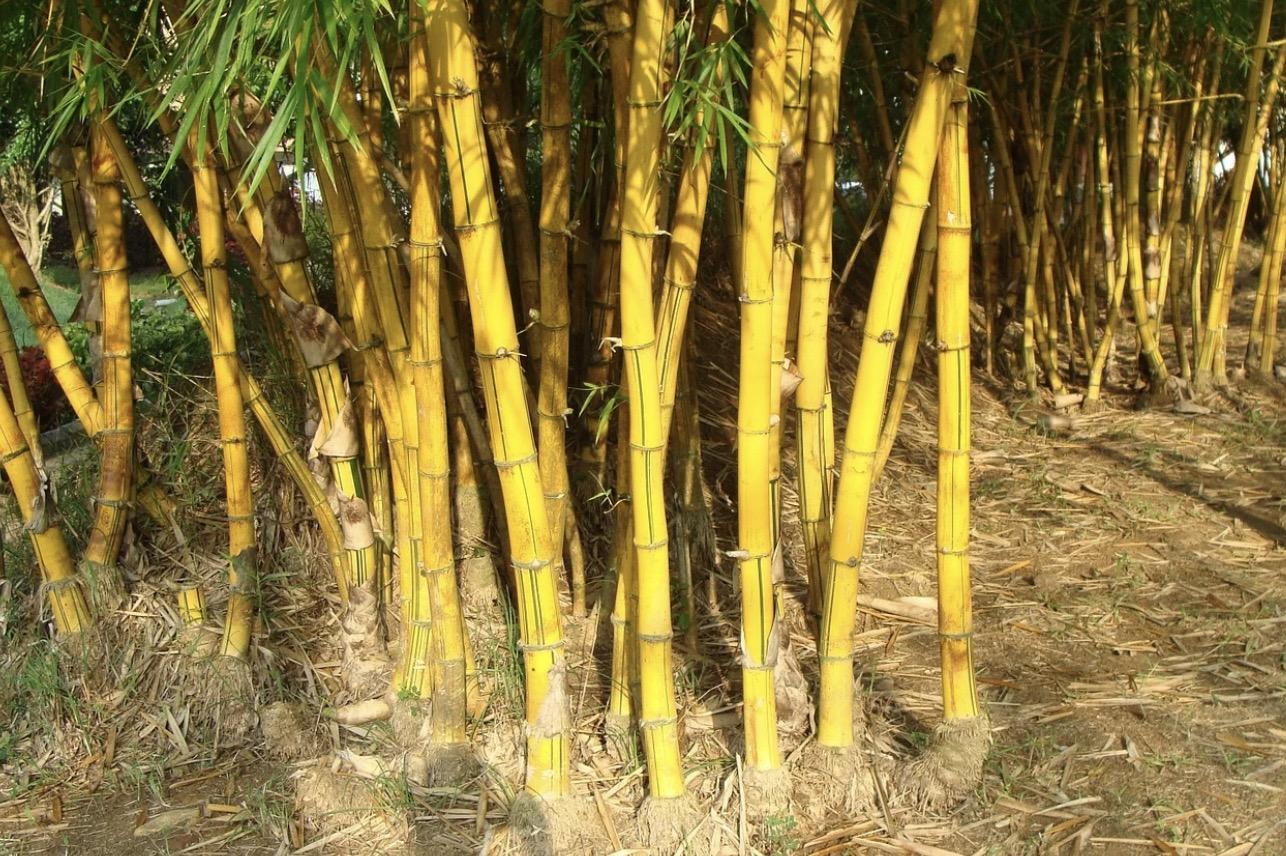 The golden bamboo.