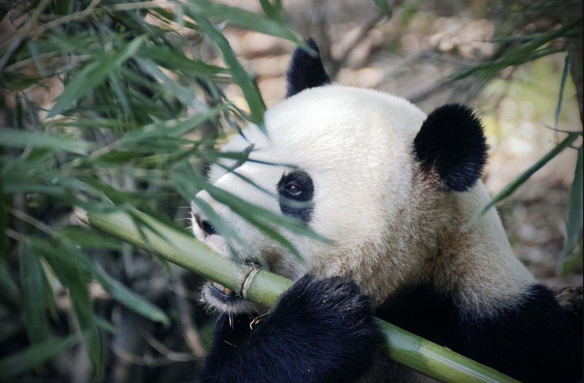Pandas can absorb cyanide in bamboo