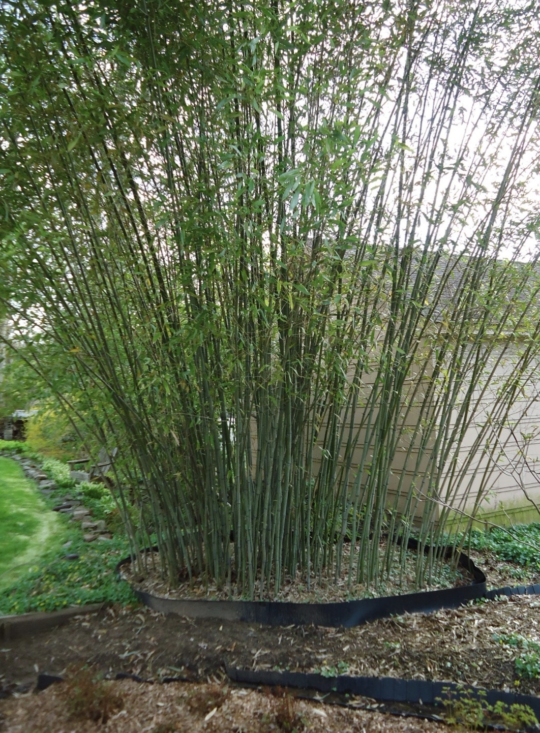 Growing bamboo in the backyard