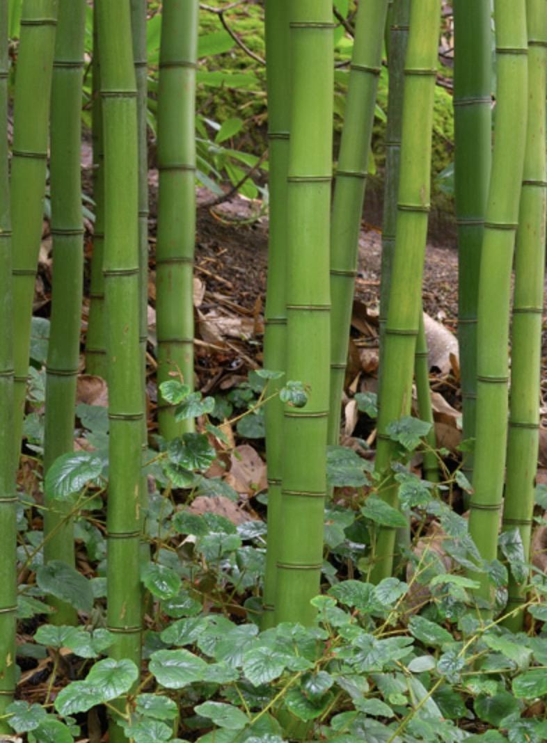 Chinese Timber Bamboo
