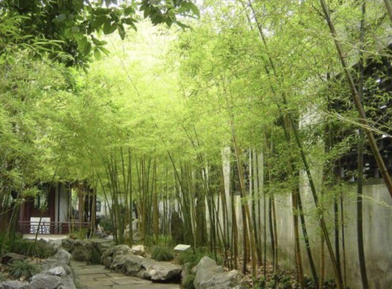 Healthy bamboo