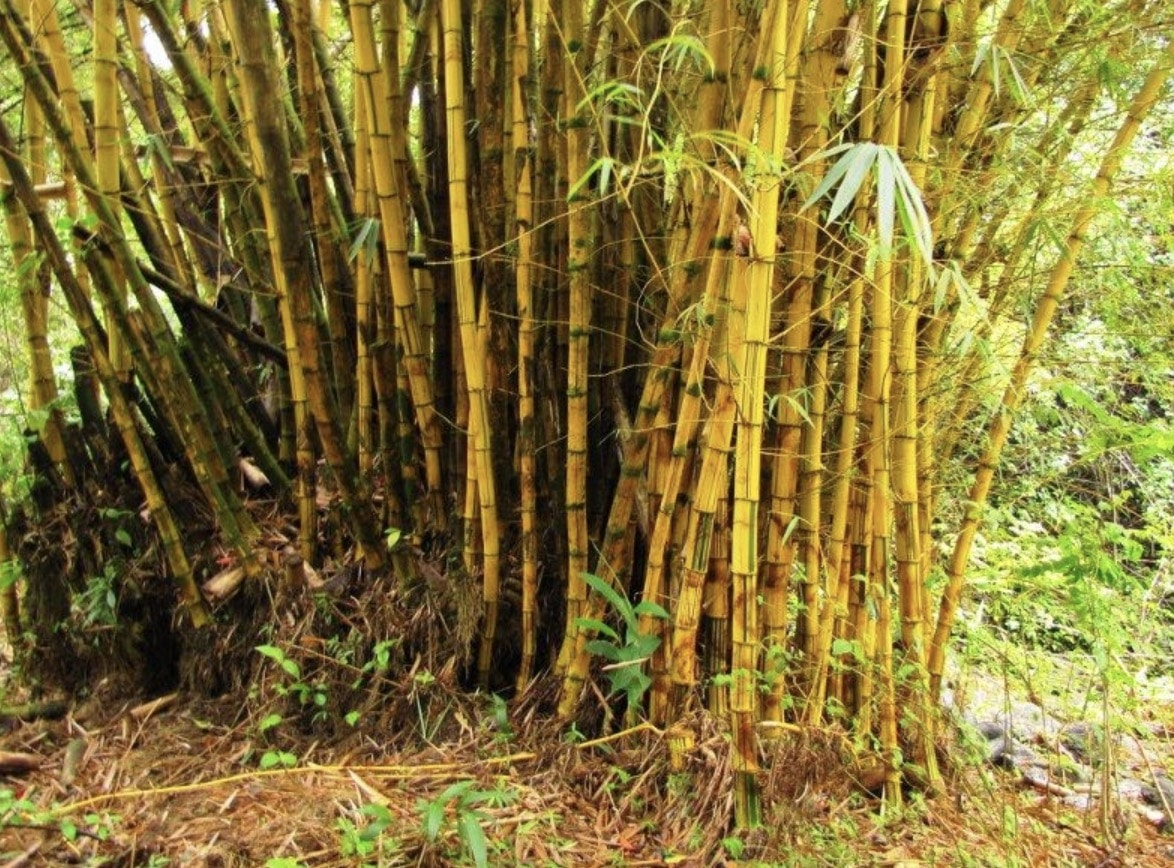 The running bamboo can run in unpredictable directions.