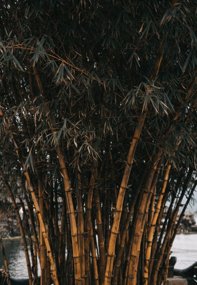 The running bamboo