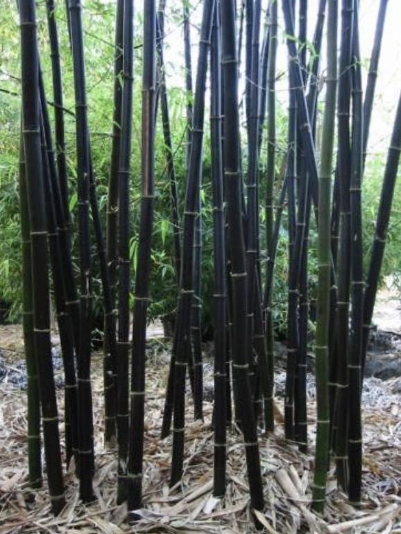 Unique Black Bamboo