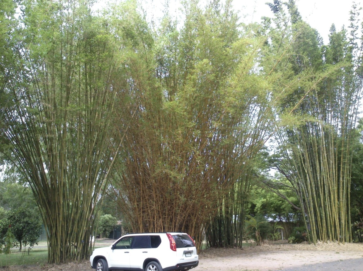 Giant clumping bamboo in the car park