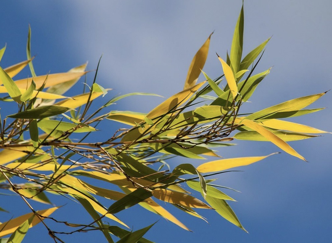 Yellow bamboo leaves