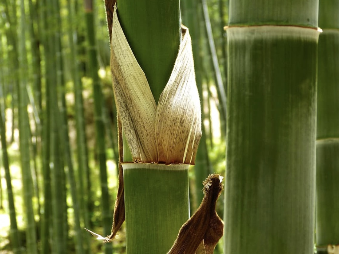 Yellow leaves show that bamboo needs fertilizing.