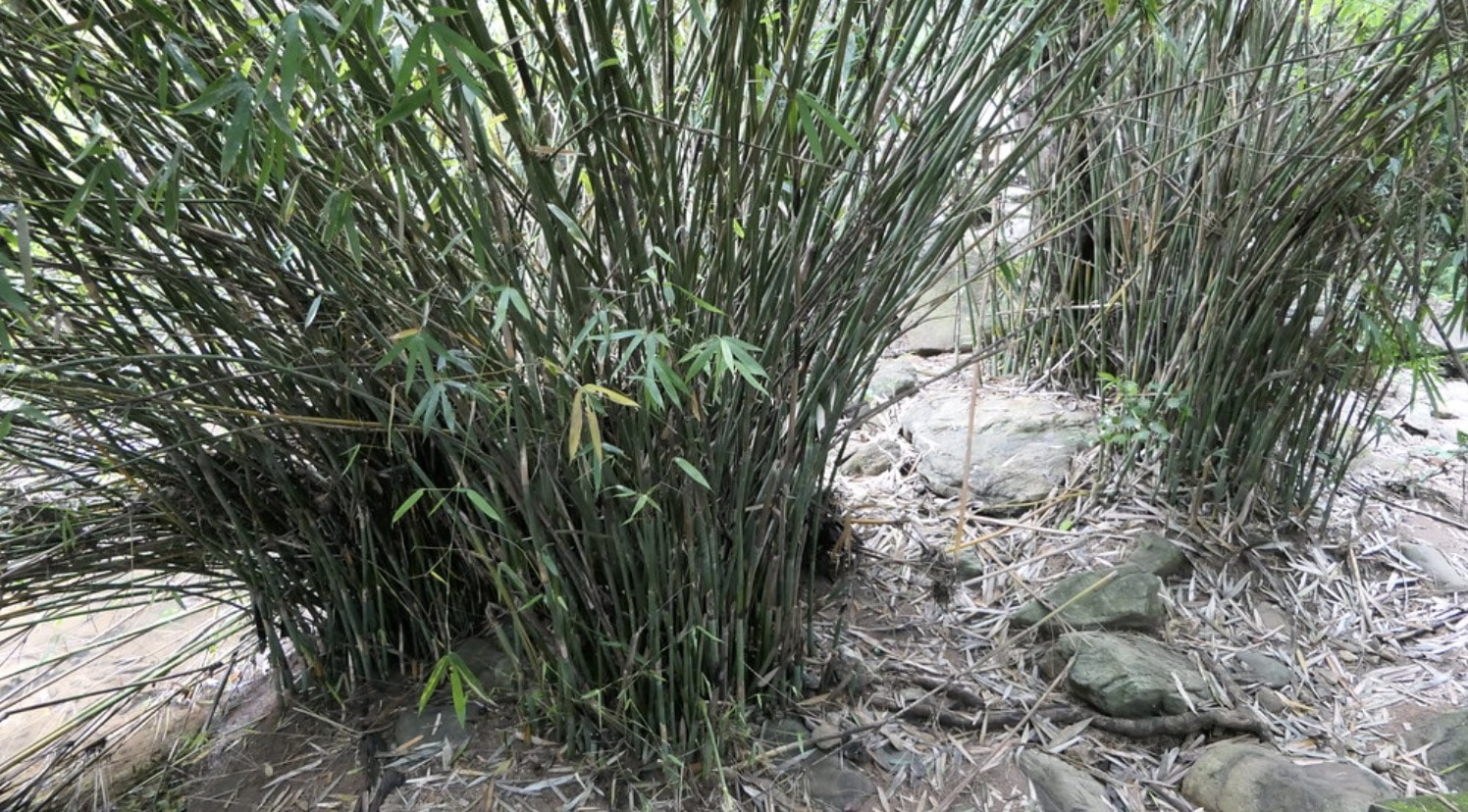 The clumping bamboo