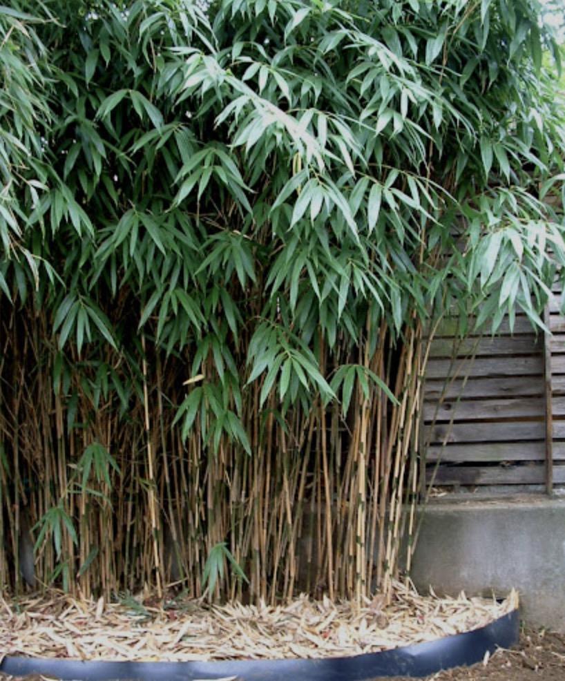 Arrow Bamboo (Pseudosasa Japonica)