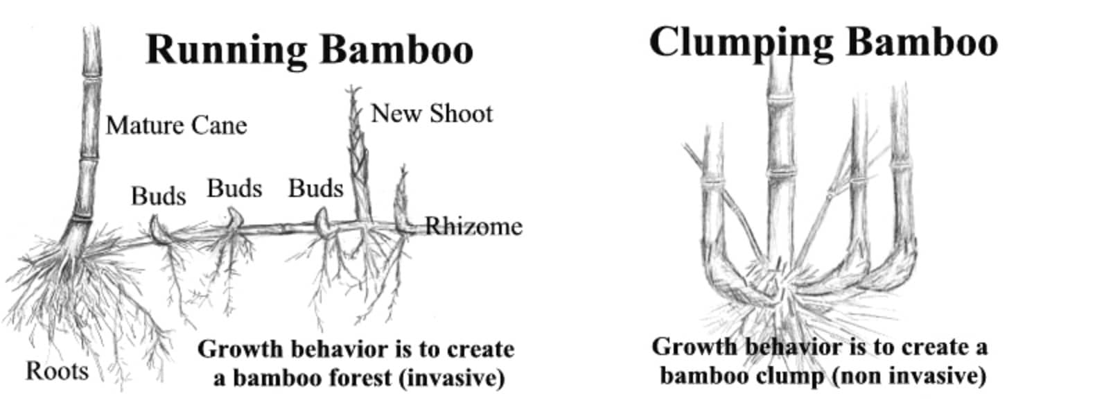 Running bamboo and clumping bamboo are the two main kinds of bamboo
