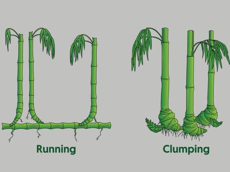 running bamboo vs clumping bamboo